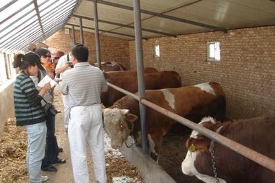 鲁西黄牛,鲁西黄牛厂家,鲁西黄牛养殖基地_山东汇泉养殖场