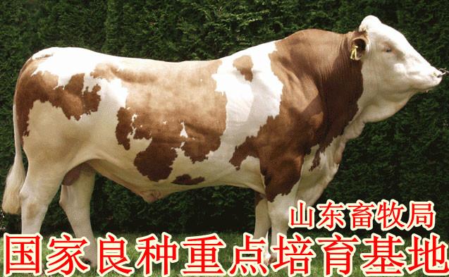 肉牛养殖_肉牛养殖场_肉牛养殖基地_肉牛,肉牛,肉牛
