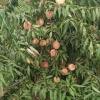 哪里有卖映霜红桃苗?????来青州三八红旗园艺场