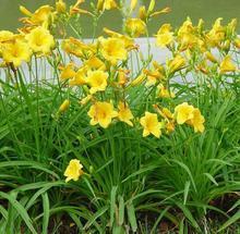 金娃娃萱草根茎短,有肉质的纤维根,叶自根基丛生
