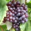 红宝石无核葡萄要怎么种植更容易成活