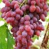红提葡萄批发哪家好,价格优惠,质量好
