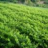 供应沉香树(沉香苗)中国北流 白木香树(白木香苗)