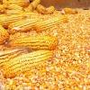 四川纵翔饲料求购玉米、大米、碎米等