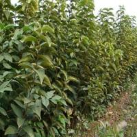 阳丰柿子苗供应商,价格,山西柿子苗批发市场-全球资源网