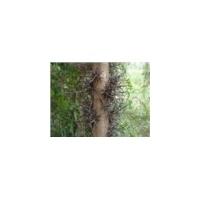 皂角树供应商_皂角树供应商价格_优质皂角供应商批发/采购