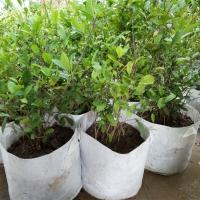 茶树 园艺茶树 盆栽 四季常青 秋冬花季 信阳厂家基地供应
