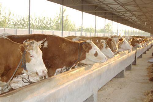 湖南哪里有卖肉牛犊的