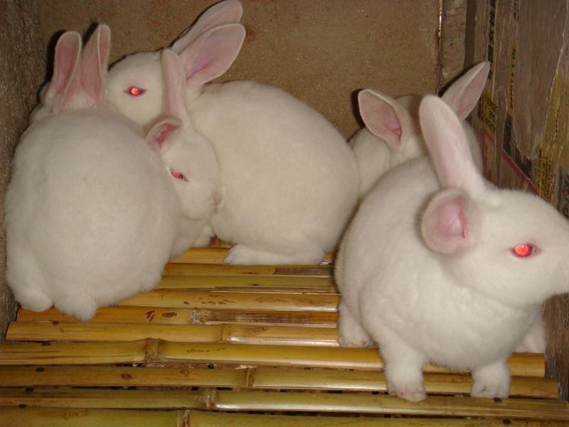 獭兔养殖、种兔一只多少钱?