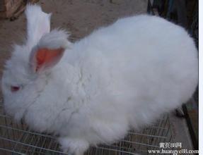 哪里有大型长毛兔养殖场