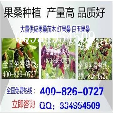 果桑苗基地果桑桑葚苗种植优良品种