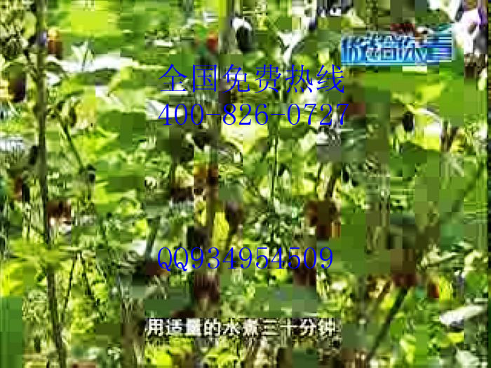 种植果桑品种最多基地批发