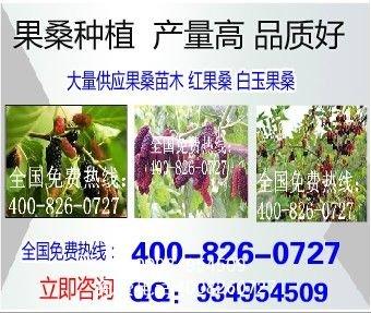 新品种果桑苗哪家好海宁果桑苗