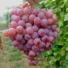 红提葡萄的皮能吃吗