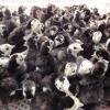 火鸡苗厂家直销,火鸡苗成活率90%以上,成年火鸡提供销