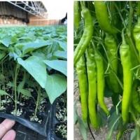 延边黄瓜苗种苗厂 蔬菜育苗基地厂址