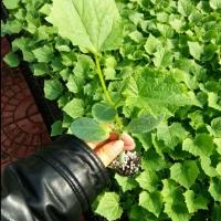 南昌西红柿苗种苗厂 出售嫁接西红柿苗