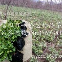 茶苗价格、茶树苗批发、茶叶苗厂家供应保质保量
