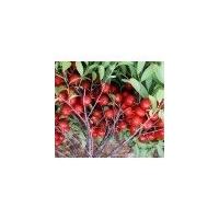 山西春秋苗木繁育基地 钙果苗批发价格低 品种全产量高