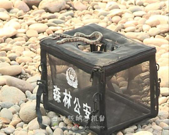 西双版纳组织捕捉澜沧江边放生蛇 已捕捉到12条