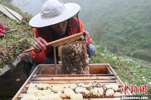 资料图片为:蜂农在收割蜂蜜。中新社记者 贺俊怡 摄