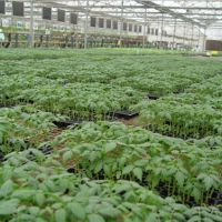 聊城西红柿育苗厂 草莓西红柿苗基地