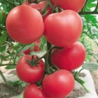 通辽粉西红柿育苗厂 哪有卖口感好的西红柿苗