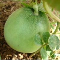 大连甜瓜育苗厂 哪有卖绿宝甜瓜苗的基地