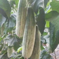 本溪育甜瓜嫁接苗基地 绿宝羊角蜜甜瓜苗品种