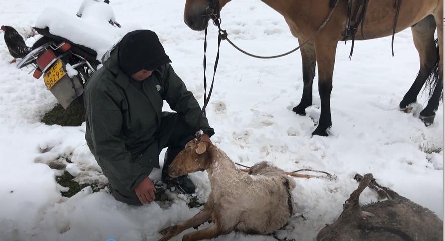 新疆特克斯现大范围降雪降温 牧区近500牲畜被冻死