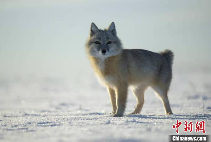 图为摄影师镜头中的沙狐。 张渊 摄