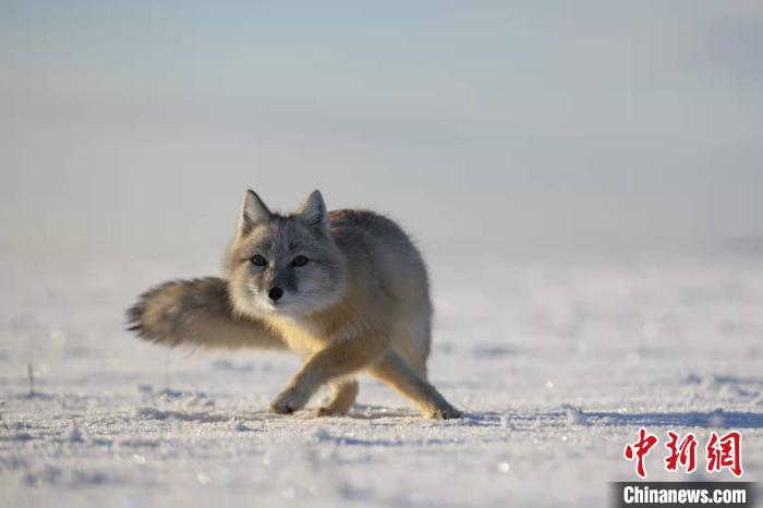 图为出现在额尔古纳地区的沙狐。 张渊 摄