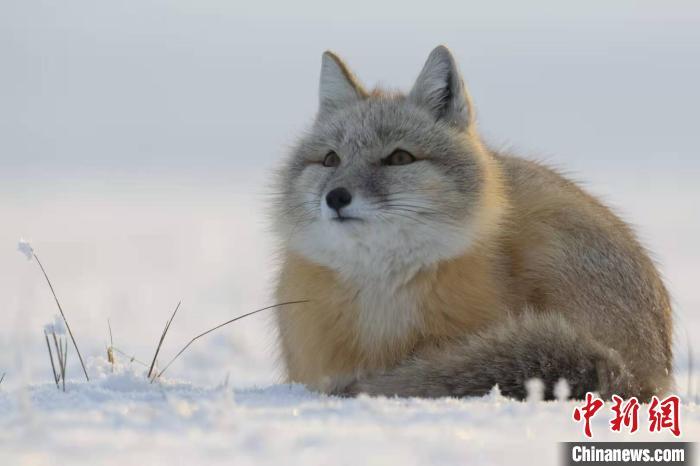 图为憨态可掬的沙狐。 张渊 摄